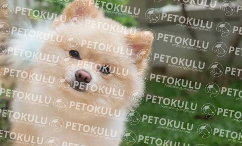Beklenen Yazı! Pomeranian Boo Eğitimi ve Özellikleri