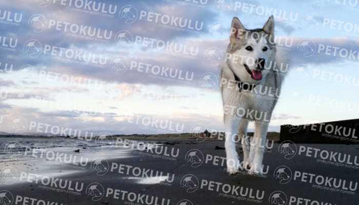 Sibirya Kurdu (Husky) Eğitimi ve Özellikleri