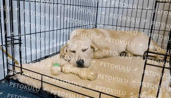 Köpek Kafes Eğitimi Neden ve Nasıl Verilir?