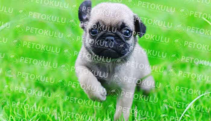 Pug Eğitimi, Özellikleri ve Bakımı