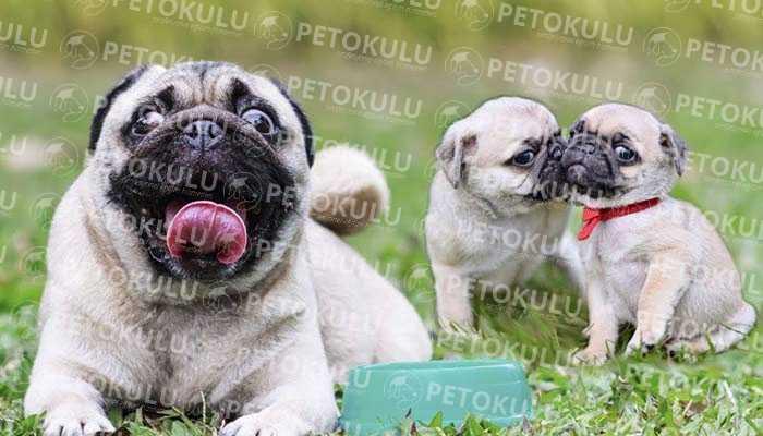 Pug Köpeklerinde Mevsimlere Özel Bakımlar