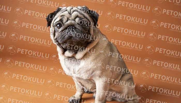 Yüz Bakımı Pug Köpekleri İçin Çok Önemli;