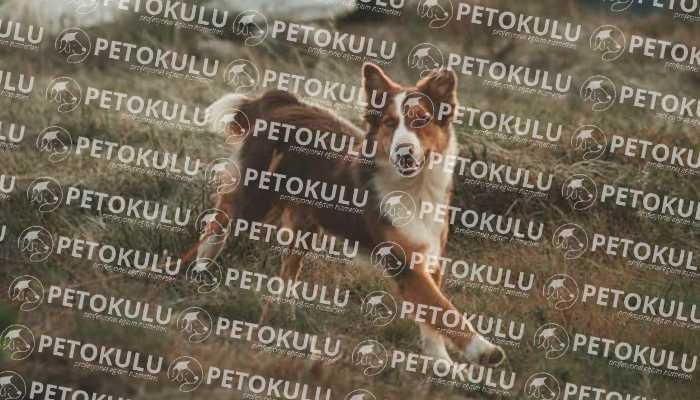 Aktör Köpek Eğitimi İle Tüm Irklara Eğitim Sunulmaktadır