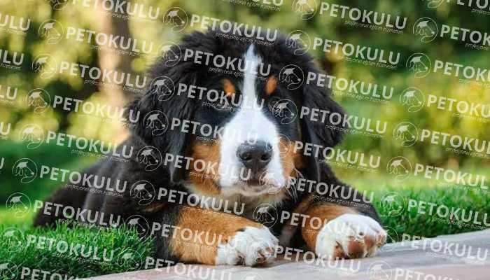 Bernese Dağ Köpeği Özellikleri