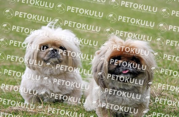 En Popüler Süs Köpeği; Pekinez Eğitimi ve Özellikleri