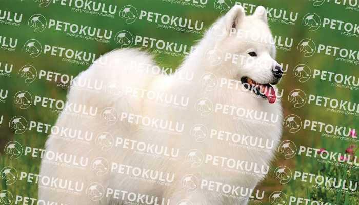 Güzelliğiyle Kendine Hayran Bırakan Köpek; Samoyed Eğitimi ve Özellikleri
