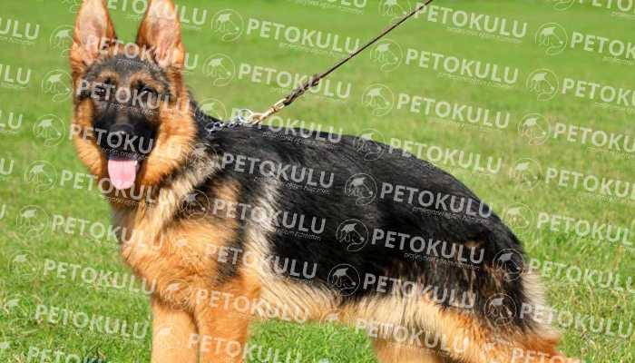 IPO – Schutzhund TestiİTAAT(Bölüm B)