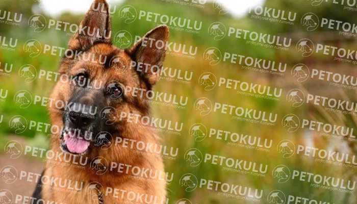 IPO – Schutzhund Testi; İZ-Sürme(Bölüm A)