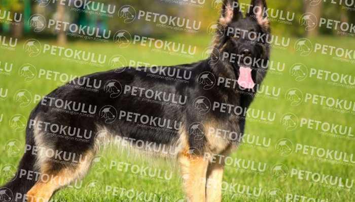 IPO – Schutzhund Nedir?