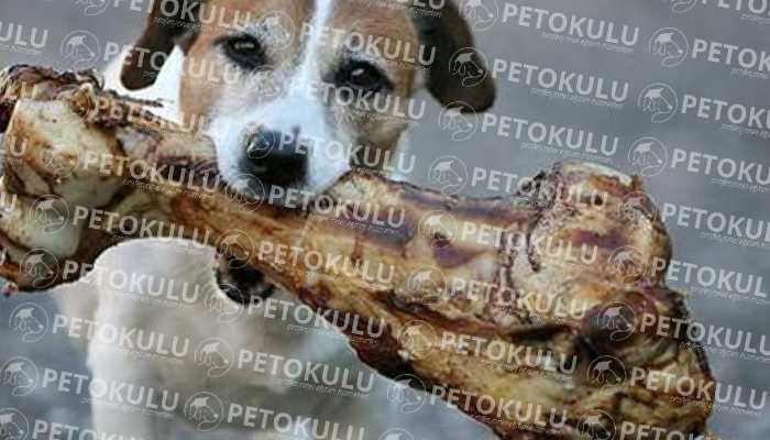Kemirme davranışı eğitimsiz köpeklerde daha çok gözlemlenir