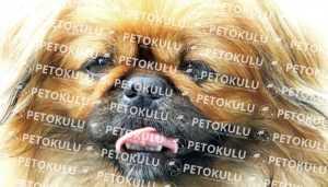 Pekingese Köpek Eğitimi