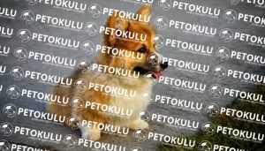 Pembroke Welsh Corgi Egzersiz İhtiyacı