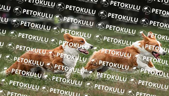 Güzellikte Çığır Aşmış Özel Bir Irk; Pembroke Welsh Corgi