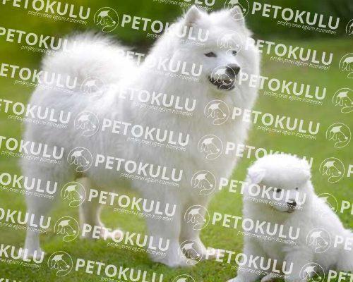 Samoyed Irkı Köpek Eğitimi