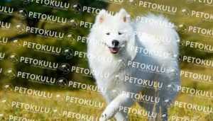 Samoyed Irkı Köpeklerin Yatkın Olduğu Hastalıklar