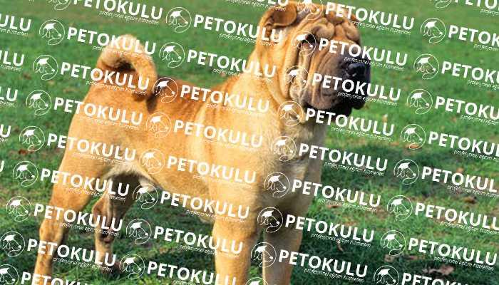 Buruşuk Derili Köpek; Shar Pei Eğitimi ve Özellikleri
