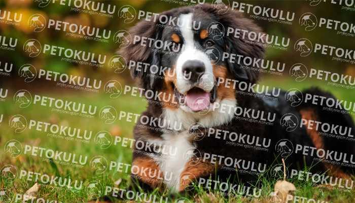 Bernese Dağ Köpeği Karakteri