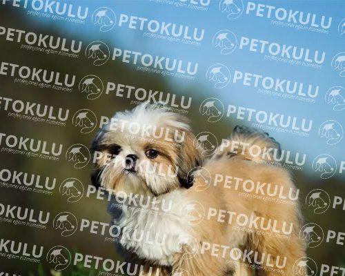 Asyanın En Popüler Ev Köpeği; Shih Tzu