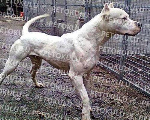 Dünyanın En Çevik Köpeği; Dogo Argentino Eğitimi