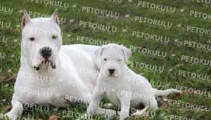 Dogo Argentino Fiziksel Özellikleri