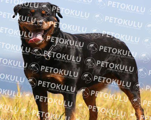 En Meşhur Köpek Irklarından Rottweiler Eğitimi