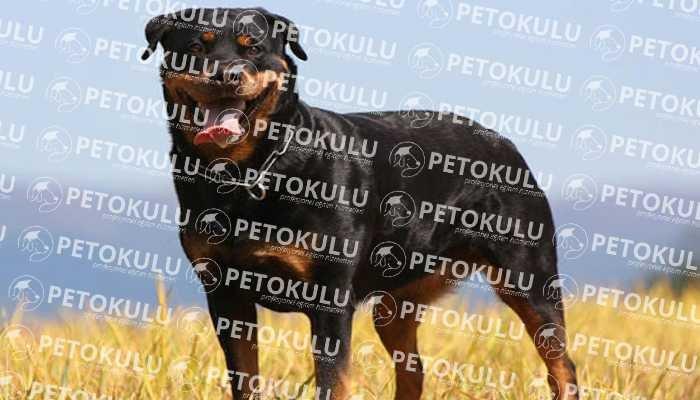 En Meşhur Köpek Irklarından Rottweiler; Eğitimi ve Özellikleri