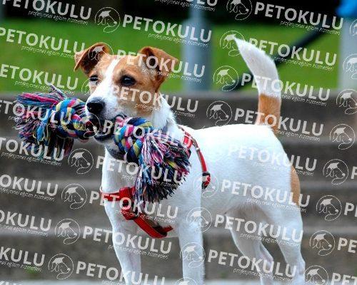 Jack Russell Terrier Bakımı