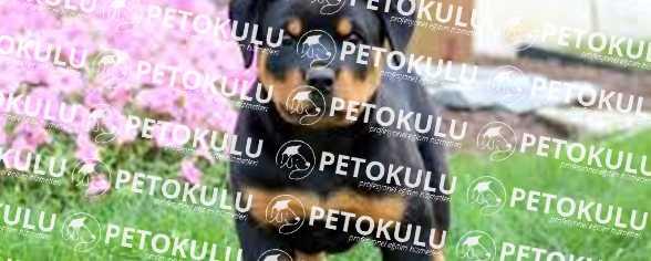 Rottweiler; İleri İtaat Eğitimi