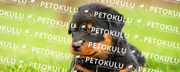 Rottweiler; Temel İtaat Eğitimi