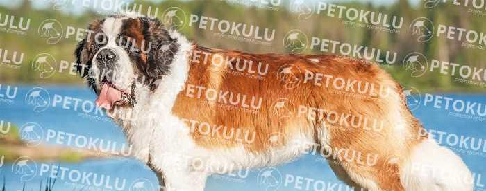 Dev bir köpek! Saint Bernard Eğitimi ve Özellikleri
