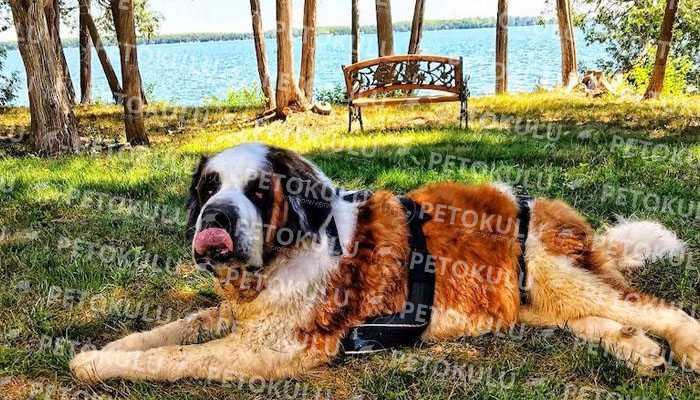 Saint Bernard Köpek Eğitimi