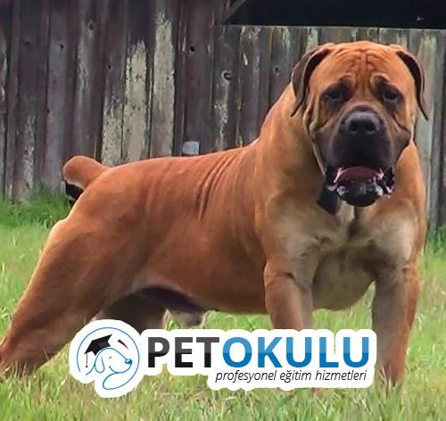 Boerboel Cinsi Köpek Eğitimi ve Genel Özellikleri