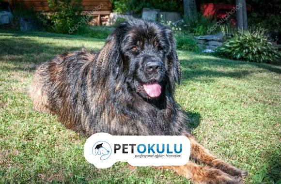 Leonberger Köpek Cinsi Eğitimi ve Özellikleri