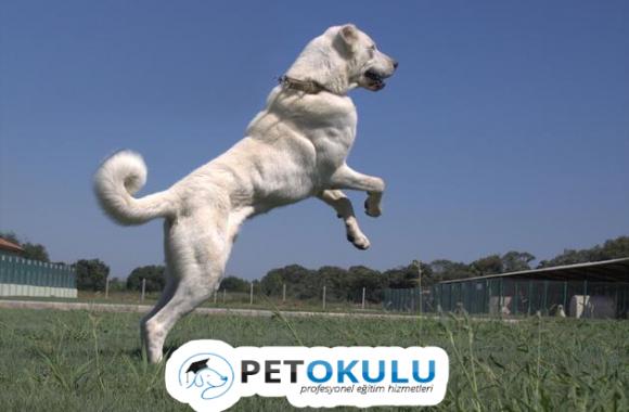 Dev Akbaş Cinsi Köpek Özellikleri ve Bakımı
