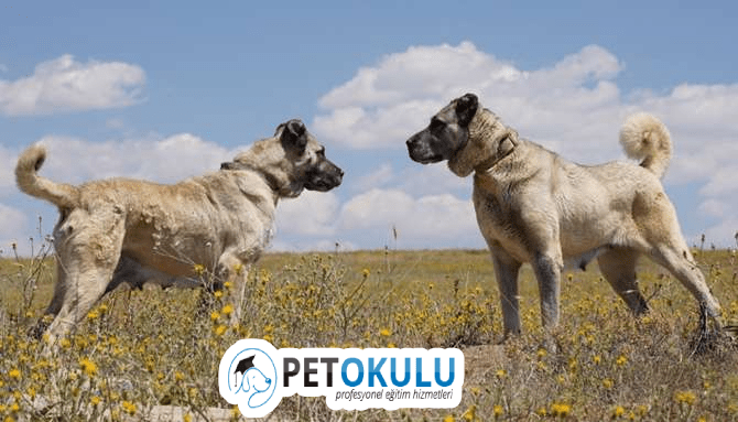 Kangal Eğitimi