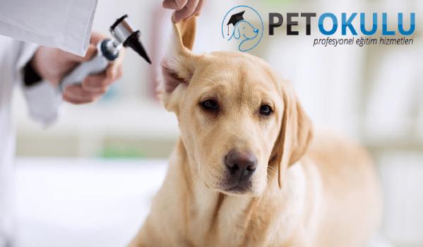 Köpek kulak sağlığı için gerekli malzemeler