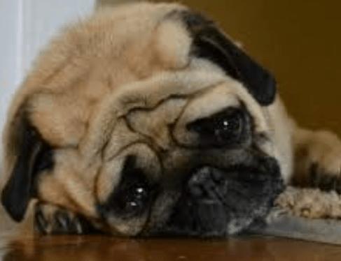 Köpekler Ölmeden Önce Ne Yapar?