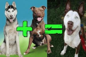 melez köpeklerde eğitim