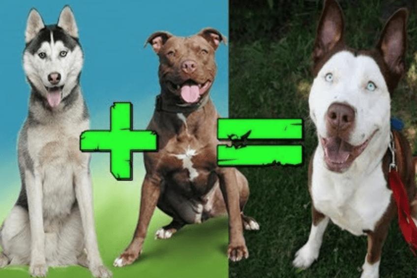 Melez Köpek Eğitimi