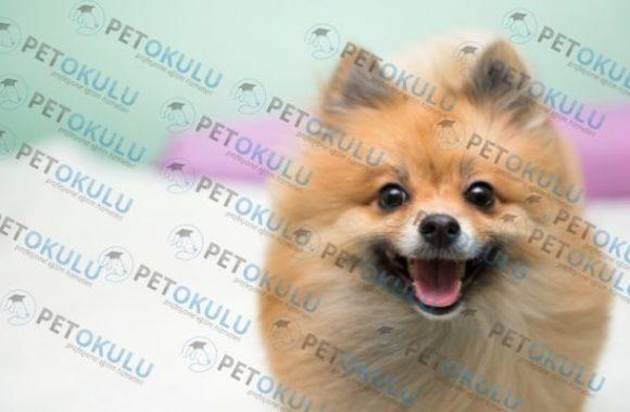 Pomeranian köpek fiyatı