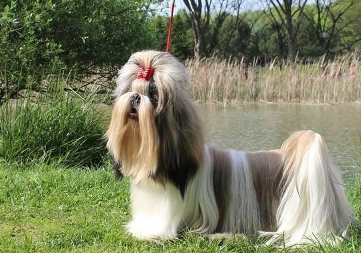 Shih Tzu(Şitsu) Cinsi Köpek Fiyatları