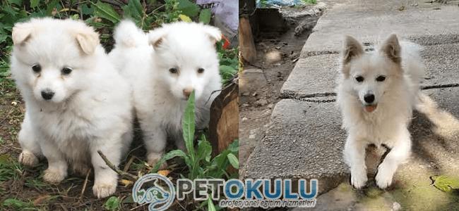Anadolu Köpek Cinsleri